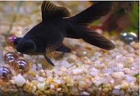Jenis Ikan Koki teleskope black