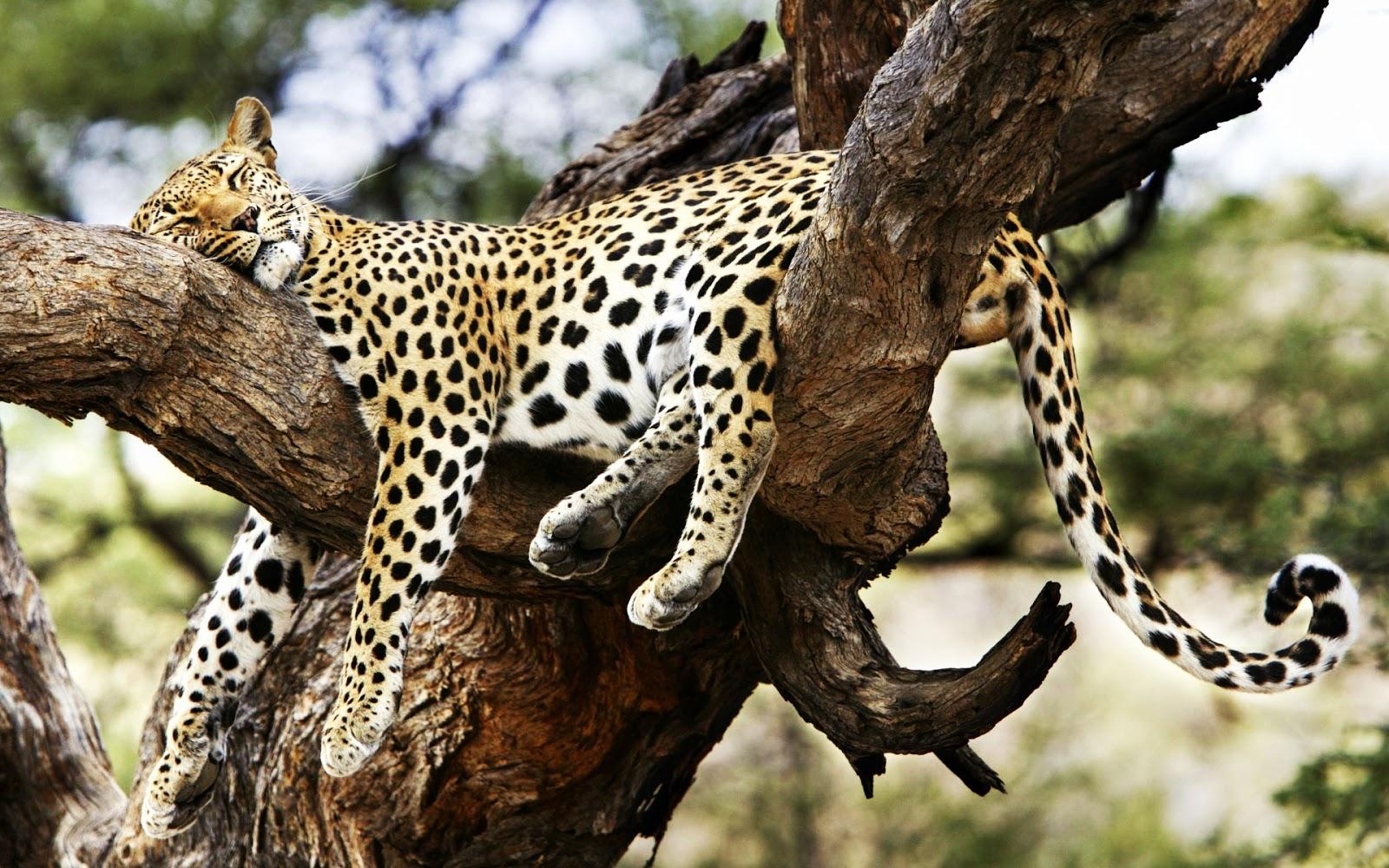 10 Gambar Hewan Liar Tidur Gambar Top 10