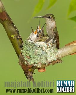 sarang kolibri atau hummingbird