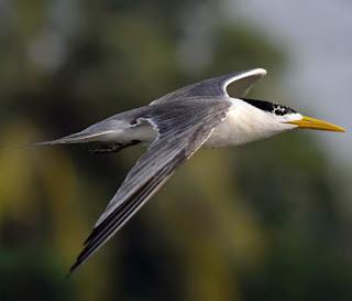 Thalasseus bengalensis in flight