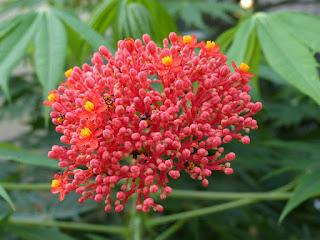 Arbre corail - Médicinier d'Espagne - Jatrope - Jatropha multifida