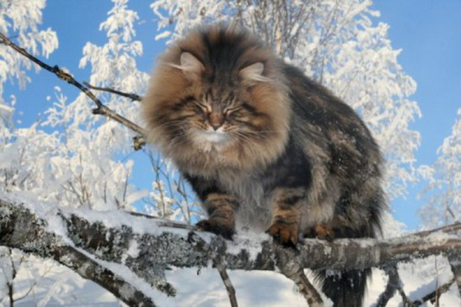 siberian forest cat temperament