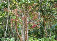 Red-green fruits - Ho'omaluhia Botanical Garden, Kaneohe, HI