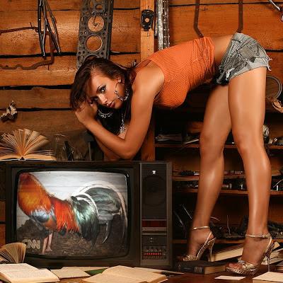 gallo en la telvision
