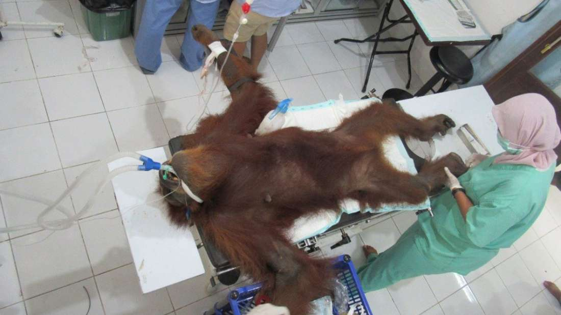 Rescuers Found A Baby Orangutan And Its Blind Mother With 74 Air Gun Pellets In Her Body At A Palm Oil Plantation