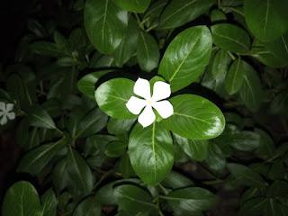 White Madagascar Periwinkle flower