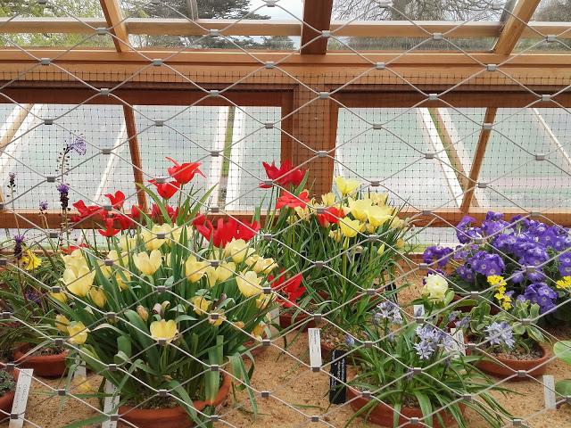 tulipanes en jardin botanico de edimburgo