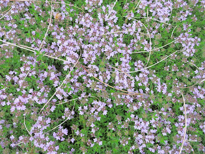thyme lawn with pine needles and a bee