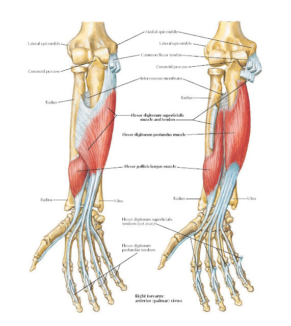 Individual Muscles of Forearm: Flexors of Digits Anatomy