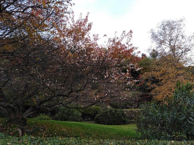 Prunus x subhirtella in Autunno