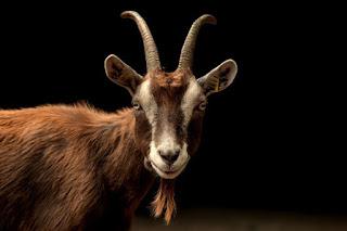 Goat Photo by Peter Neumann on Unsplash