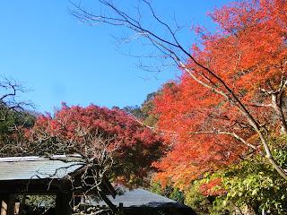 浄智寺のカエデ