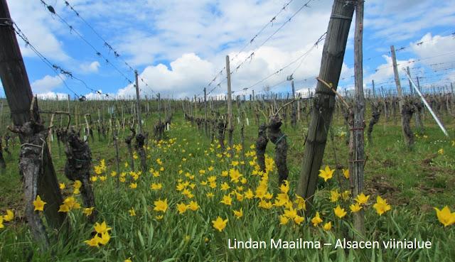 Viinitarha Alsacen viinireitillä Ranskassa Mittelbergheim
