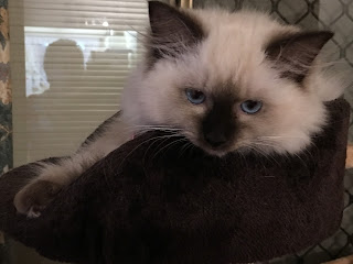 Image - seal point rag doll kitten, Princess