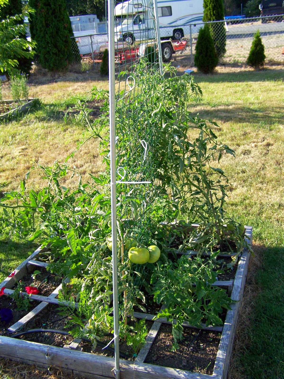 Square Foot Gardening Tomatoes Copyright Adrienne Z. Milligan