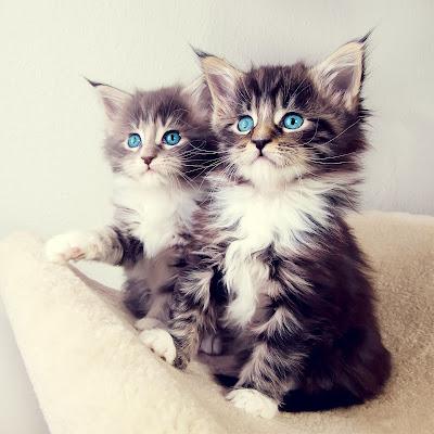 صور صور قطط كيوت 2020 خلفيات قطط جميلة جدا 5738.jpg