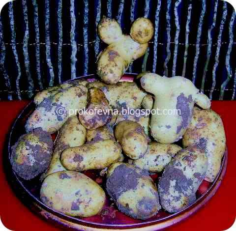 молодая картошка в Израиле