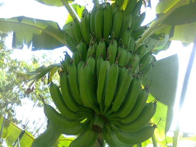 Pohon Pisang Raja Adalah Contoh Tanaman Monokotil
