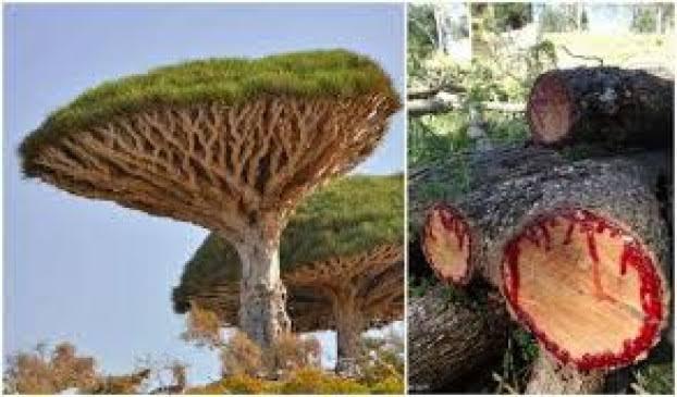 दुनिया का एक ऐसा अजीब पेड़ जिसे काटने पर निखलता है बहुत ज्यादा खून देखर आपको नही होगा यकीन
