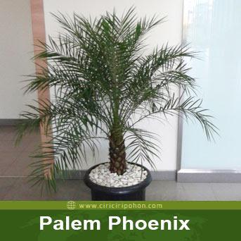 ciri ciri pohon palem phoenix