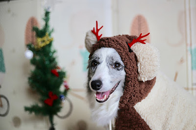 A dog in a reindeer costume is looking at the camera