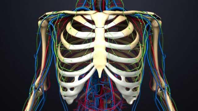 Tulang Rusuk Terdiri dari Tiga Macam