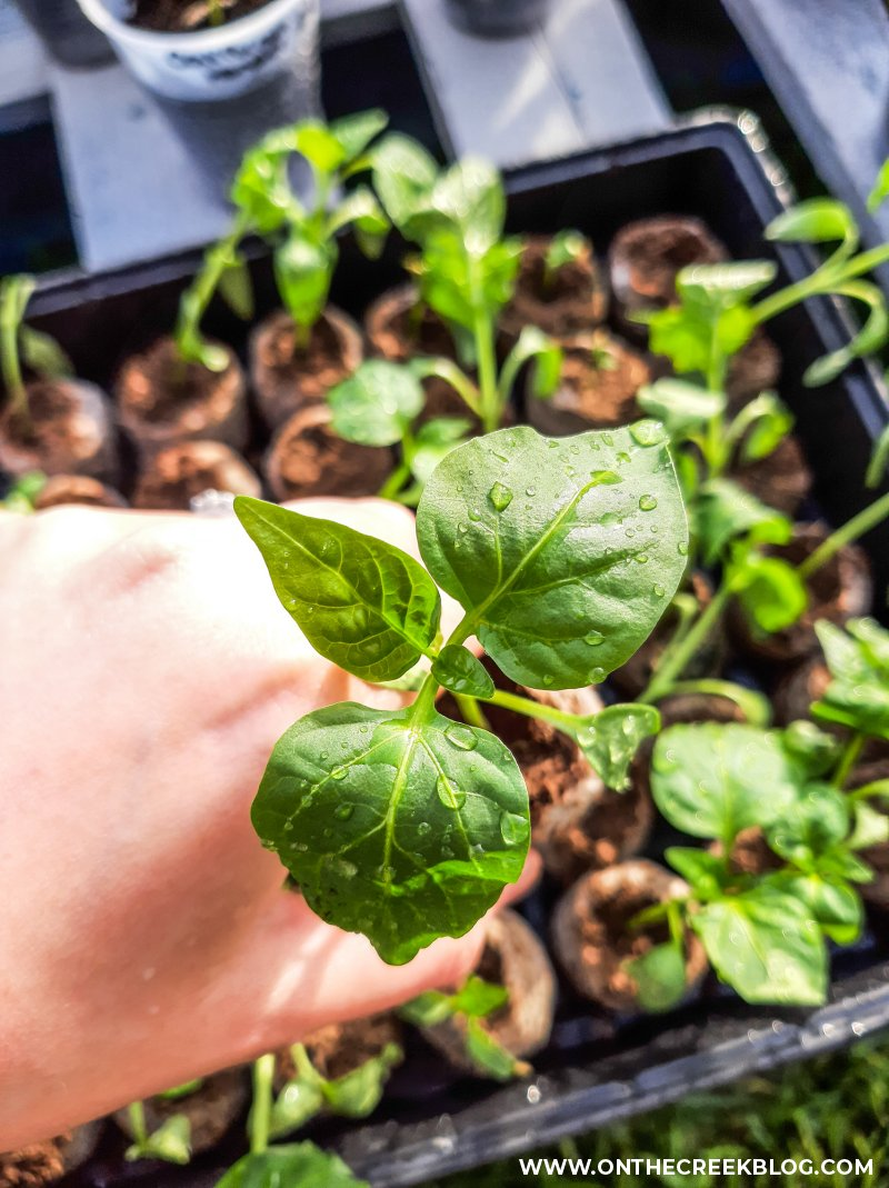 seed starting tomatoes & peppers | On The Creek Blog // www.onthecreekblog.com