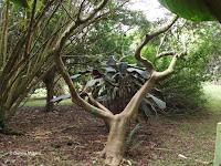 Gumbo limbo - Ho'omaluhia Botanical Garden, Kaneohe, HI