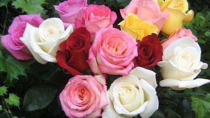 Hasil Tanaman Bunga Mawar Merah Disilangkan Dengan Tanaman Bunga Mawar Putih Tanaman Hias