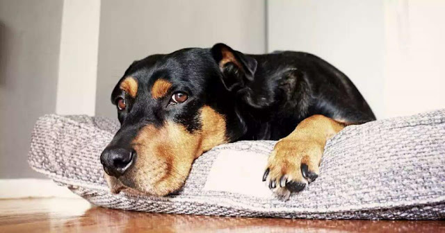 Why Do Dogs Scratch Their Beds? And How to Stop It!