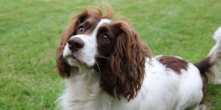 Everything about your French Spaniel