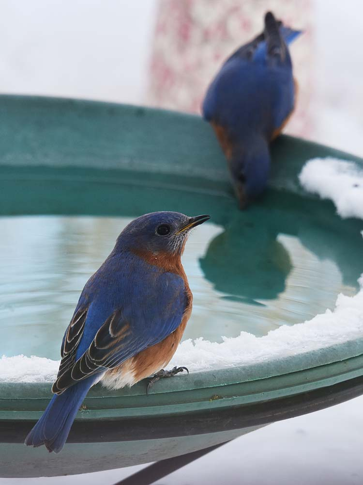 Two male Eastern Bluebirds