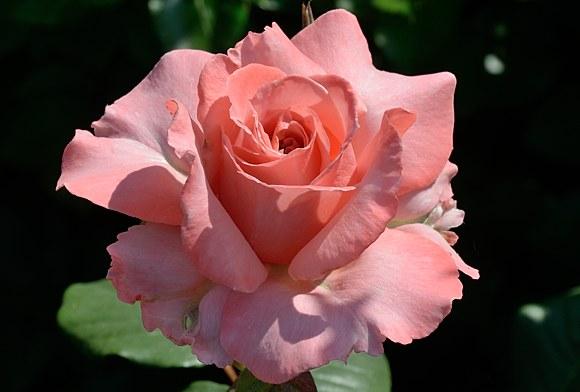Laurent Cabrol сорт розы фото купить саженцы Минск Питомник