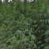 Εντοπίστηκε χασισοφυτεία «μαμούθ» στα Δερβενοχώρια με 12.800 δενδρύλλια