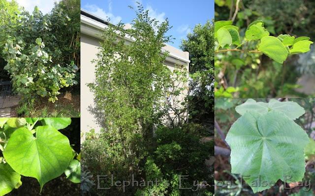Hibiscus tiliaceus, Bauhinia bowkeri tree and leaf above, Dombeya burgessiae