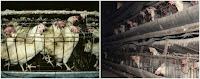 Informasi Telur: Kandang Ayam di peternakan