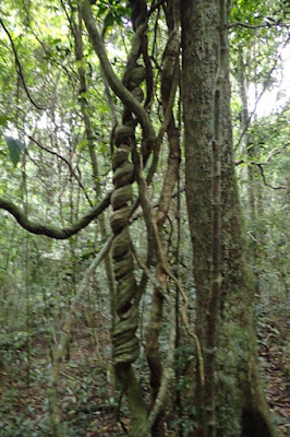 Wonga vine at Unesco World Heritage site Lamington National Park QLD. Australia's Hinterlands.
