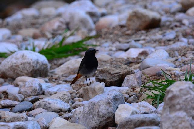 Phoenicurus ochruros - Rougequeue noir