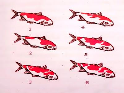 Gambar Jenis-Jenis Ikan Koi Berdasarkan Pola Warna Tubuh Dan Warna Kepala Koi
