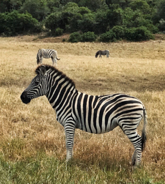 Zebras are a unique horse-like animal, and their stripes have puzzled scientists for a long time. They trace back to the original equine kind that went on the Ark.