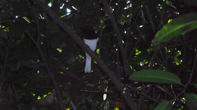 Oriental magpie-robin bird photo