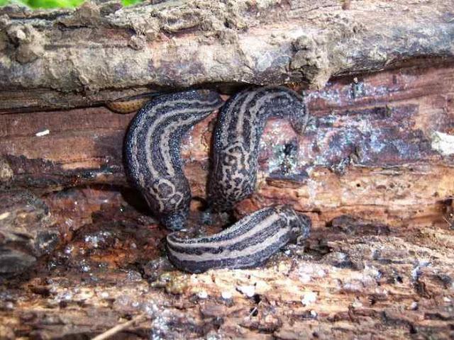 Babosa moteada - Limax maximus en Asturias, España