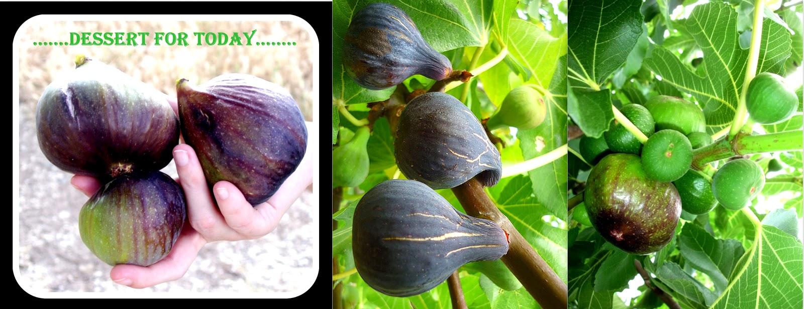 Pohon tin / Pohon ara , Figs Indonesia: Tabir Rahasia ...