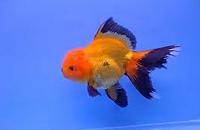 Jenis Ikan Koki Orando hitam dan kuning