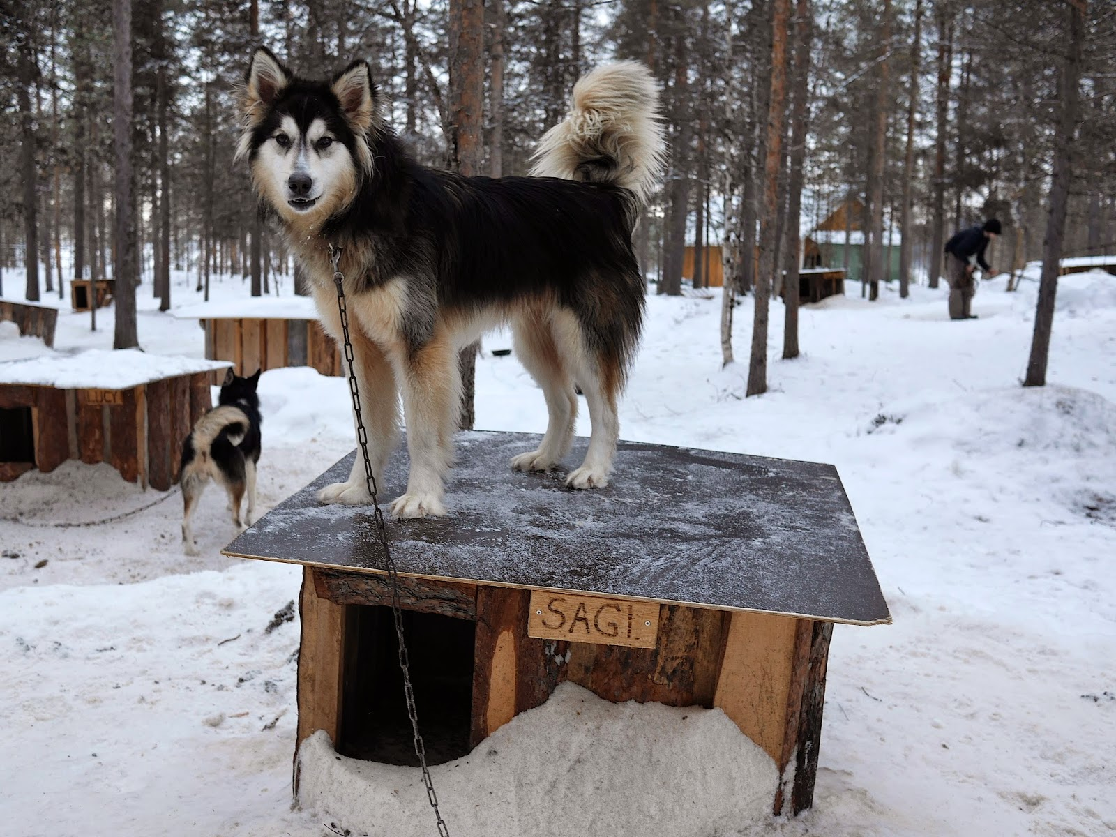 Huskies, Arctic Circle