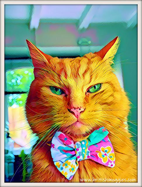 ginger cat in bowtie, cute cat in bowtie, bowtie cat, mainecoon mix, ginger cat