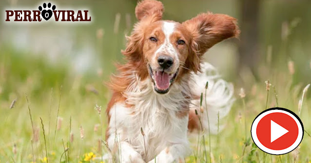 Estos son los niveles de energía de tu perro de acuerdo a su edad