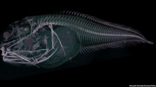 Penemuan Terbaru: 3 Spesies Ikan Aneh, Seperti Siput dan Tembus Cahaya!!