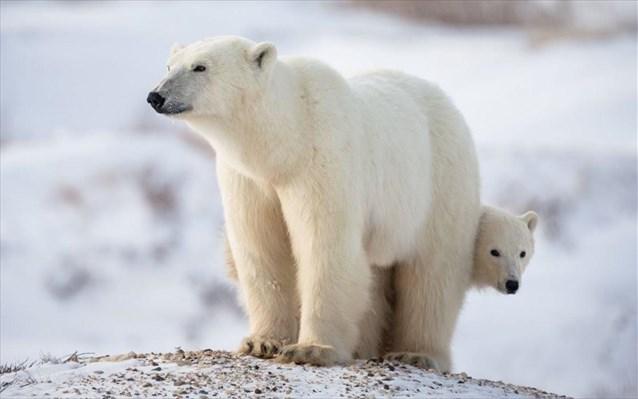 Μελέτη: Οι πολικές αρκούδες απειλούνται με εξαφάνιση έως το 2100