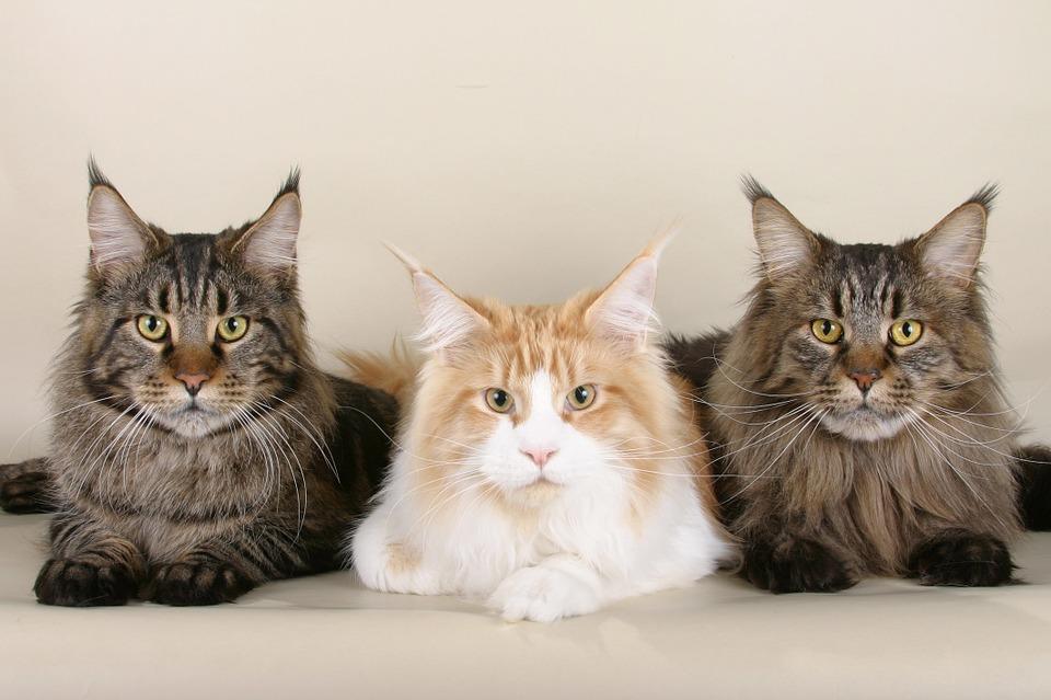 20 Jenis Kucing Mixdom Ras Campuran Yang Populer Dicari Untuk Dirawat